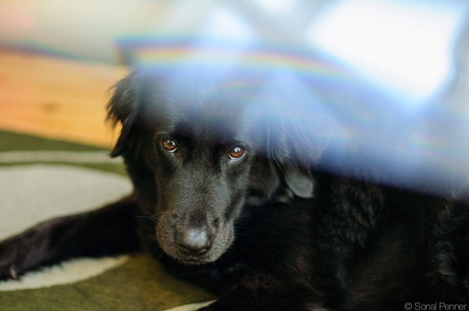 black lab, rainbow, pet, portrait