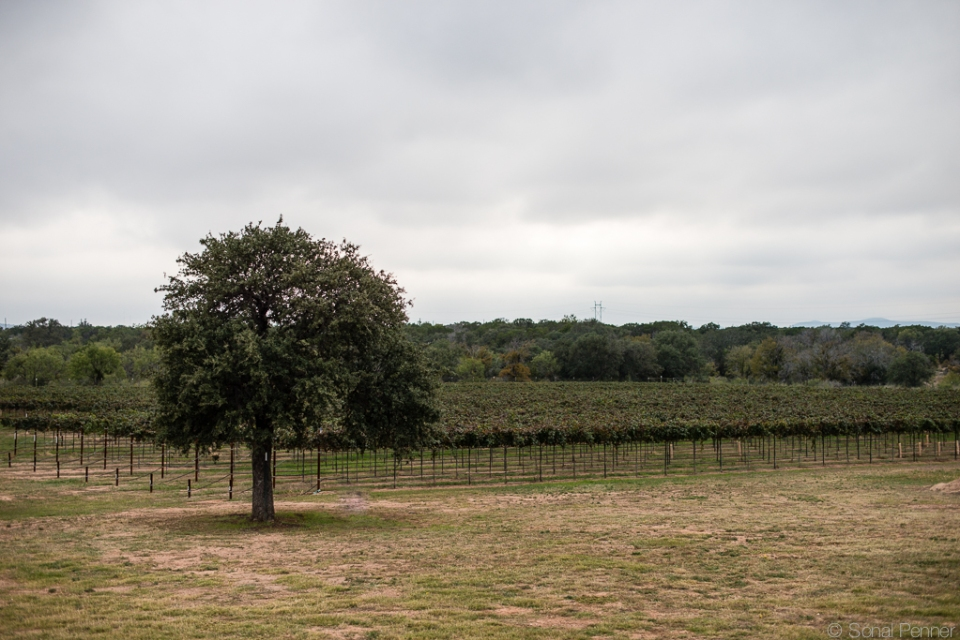vineyard tree